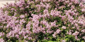 Dwarf Korean Lilac Garden Plant