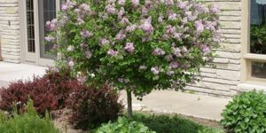 Dwarf Korean Lilac Tree Garden Plant