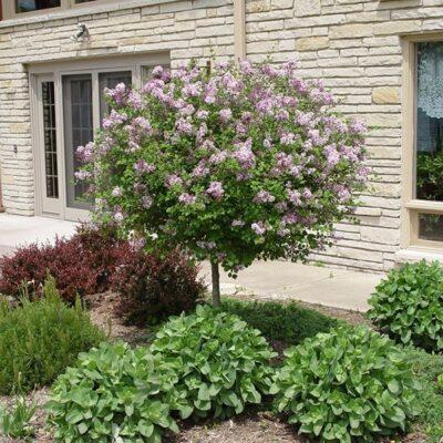 Dwarf Korean Lilac Tree Garden Plant