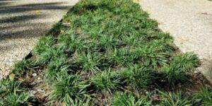 Dwarf Mondo Grass Garden Plant