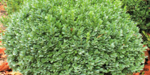 Dwarf Yaupon Holly Garden Plant