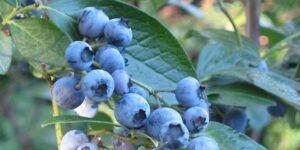 Earliblue Blueberry Plant Garden Plant