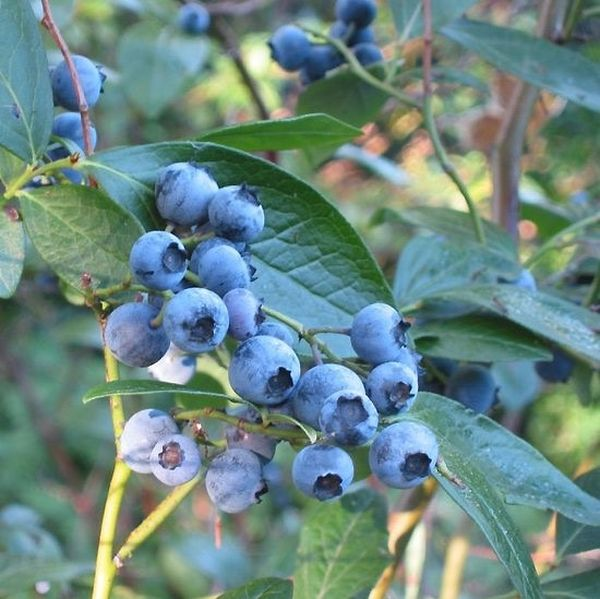 Earliblue Blueberry Plant Garden Plant