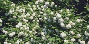 Eastern Snowball Viburnum Garden Plant