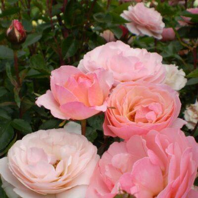 Easy Elegance Calypso Rose Garden Plant