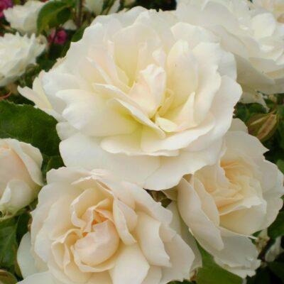 Easy Elegance Champagne Wishes Rose Garden Plant