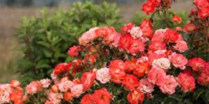 Easy Elegance Coral Cove Rose Garden Plant