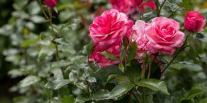 Easy Elegance Grandma's Blessing Rose Garden Plant