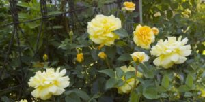 Easy Elegance High Voltage Rose Garden Plant