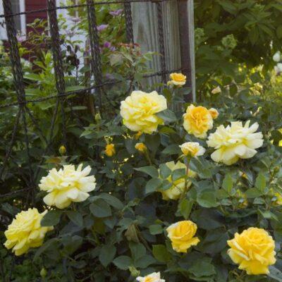 Easy Elegance High Voltage Rose Garden Plant