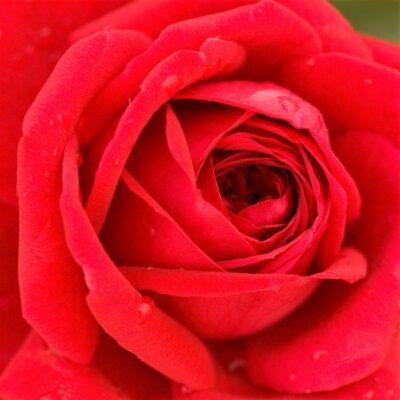 Easy Elegance Kashmir Rose Garden Plant