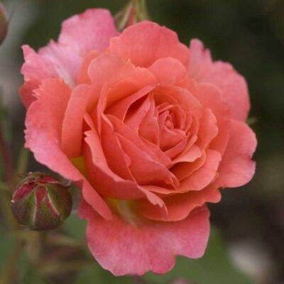 Easy Elegance Kiss Me Rose Garden Plant