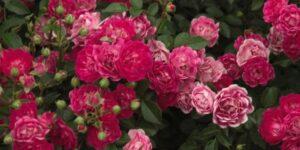 Easy Elegance Little Mischief Rose Garden Plant
