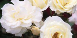 Easy Elegance Macy's Pride Rose Garden Plant