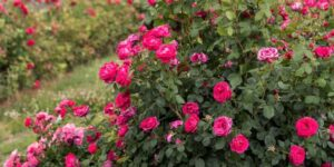 Easy Elegance My Girl Rose Garden Plant