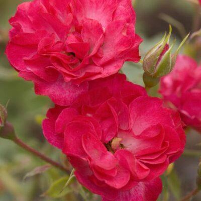 Easy Elegance Mystic Fairy Rose Garden Plant