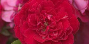 Easy Elegance Paint the Town Rose Garden Plant