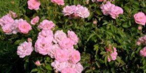 Easy Elegance Pinktopia Rose Garden Plant