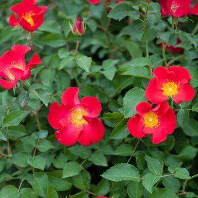 Easy Elegance Screaming Neon Red Rose Garden Plant