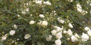 Easy Elegance Snowdrift Rose Garden Plant