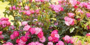 Easy Elegance Sunrise Sunset Rose Garden Plant