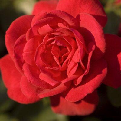 Easy Elegance Super Hero Rose Garden Plant