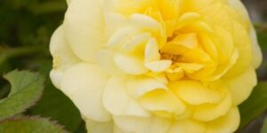 Easy Elegance Yellow Brick Road Rose Garden Plant