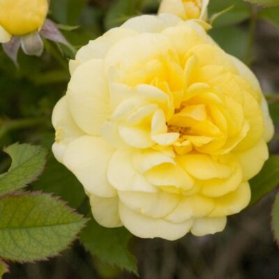 Easy Elegance Yellow Brick Road Rose Garden Plant