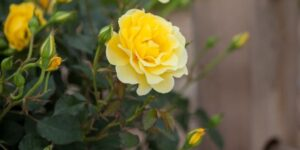 Easy Elegance Yellow Submarine Rose Garden Plant