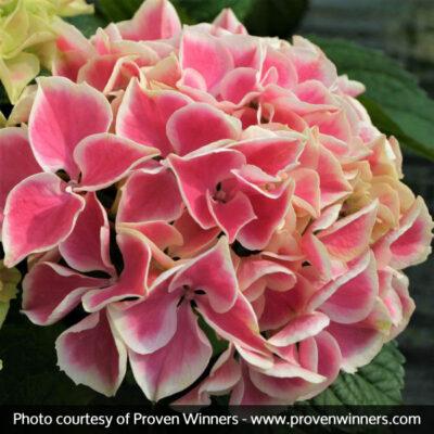 Edgy Hearts Hydrangea Garden Plant