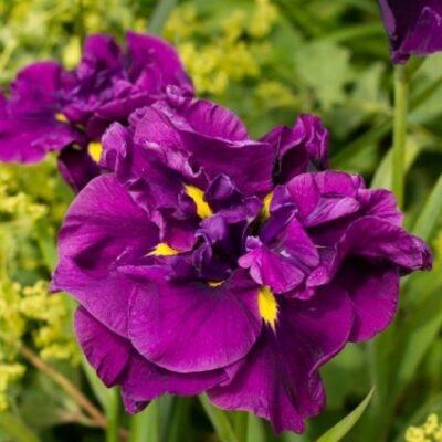 Eileen's Dream Japanese Iris Garden Plant