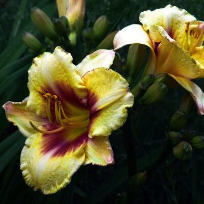 El Desperado Daylily Garden Plant