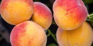 Elberta Peach Tree Garden Plant