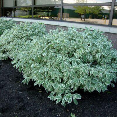 Elegantissima Dogwood Garden Plant