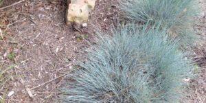Elijah Blue Fescue Grass Garden Plant