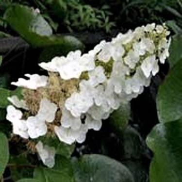 Ellen Huff Oakleaf Hydrangea Garden Plant