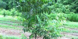 Elliot Pecan Tree Garden Plant