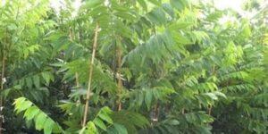 Ellis Pecan Garden Plant