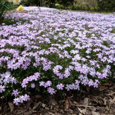 Emerald Blue Phlox Garden Plant