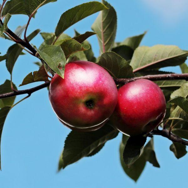 Empire Apple Tree Garden Plant