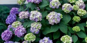 Endless Summer Bloomstruck Hydrangea Garden Plant