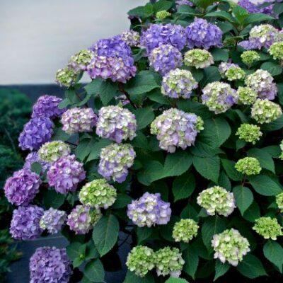 Endless Summer Bloomstruck Hydrangea Garden Plant