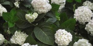 Endless Summer Blushing Bride Hydrangea Garden Plant