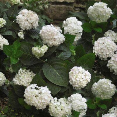 Endless Summer Blushing Bride Hydrangea Garden Plant