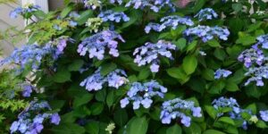 Endless Summer Twist-n-Shout Hydrangea Garden Plant