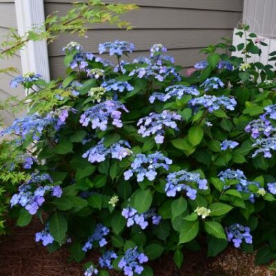 Endless Summer Twist-n-Shout Hydrangea Garden Plant