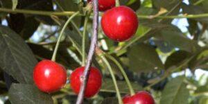 English Morello Cherry Tree Garden Plant