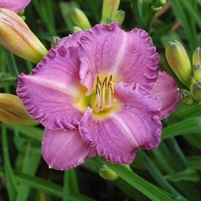 Entrapment Daylily Garden Plant
