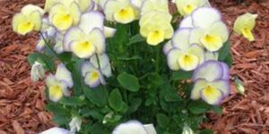 Etain Violet Garden Plant