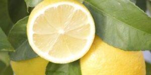 Eureka Lemon Garden Plant